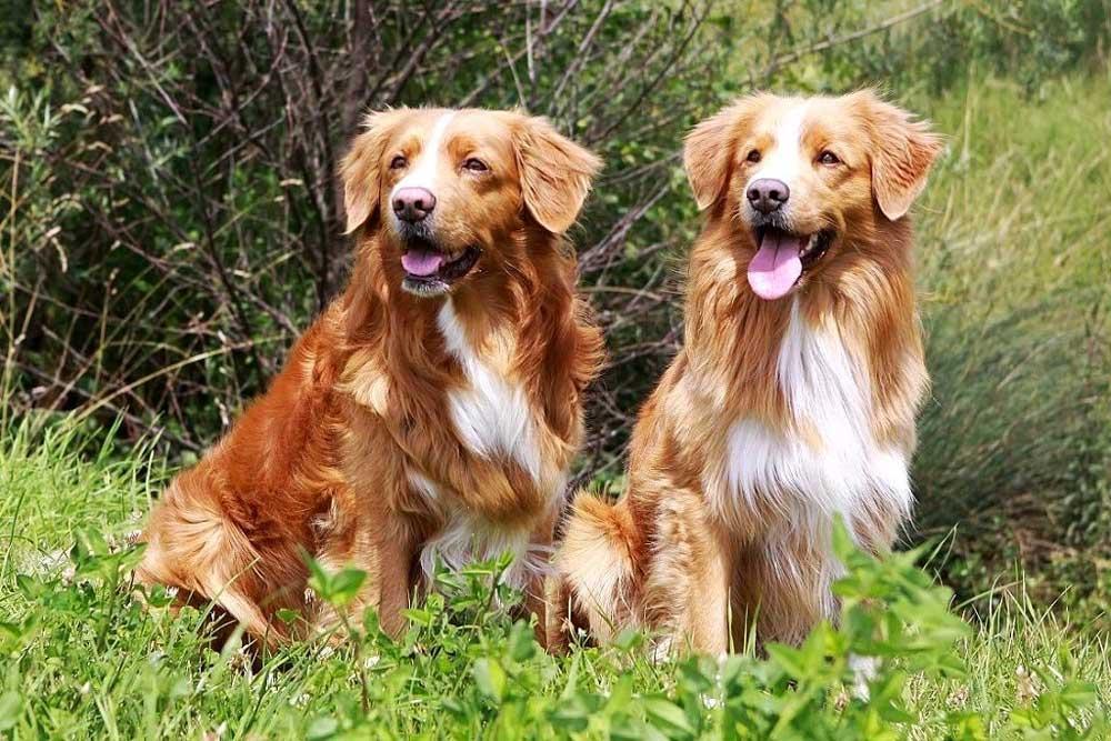 identify breed dog Retrivers