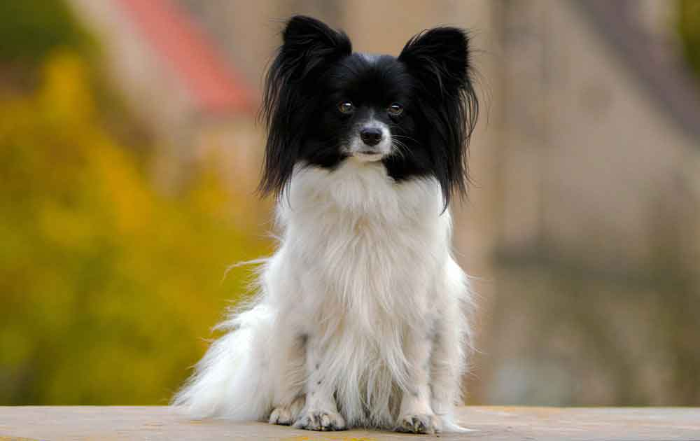identify breed dog Continental Toy Spaniel and others