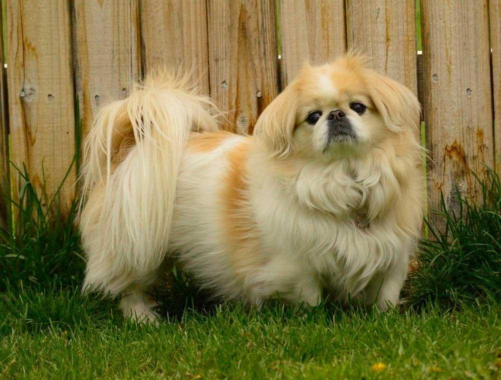 identify breed dog Japan Chin and Pekingese