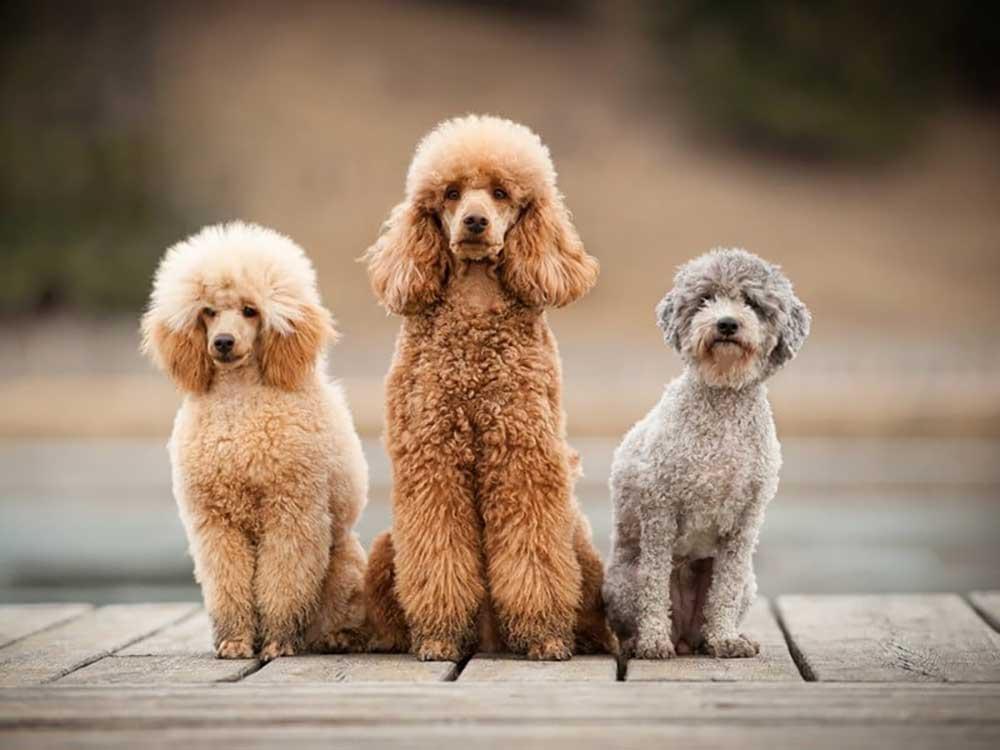 identify breed dog Poodle