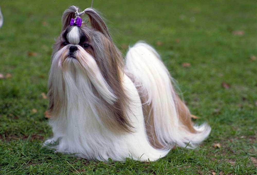 identify breed dog Tibetan breeds