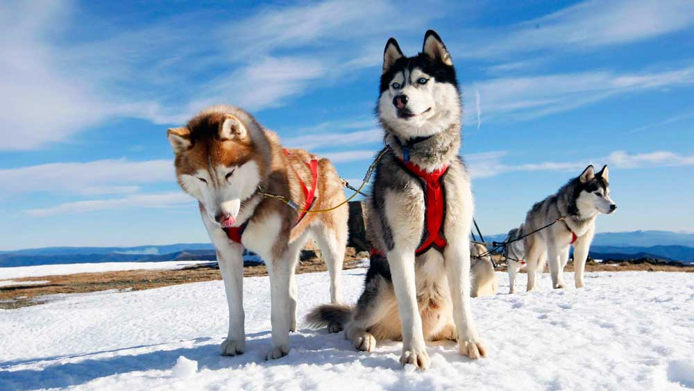 identify breed dog Nordic sled dogs