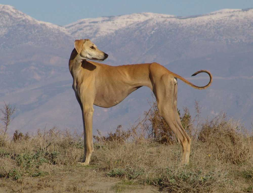 identify breed dog Short-haired Sighthounds