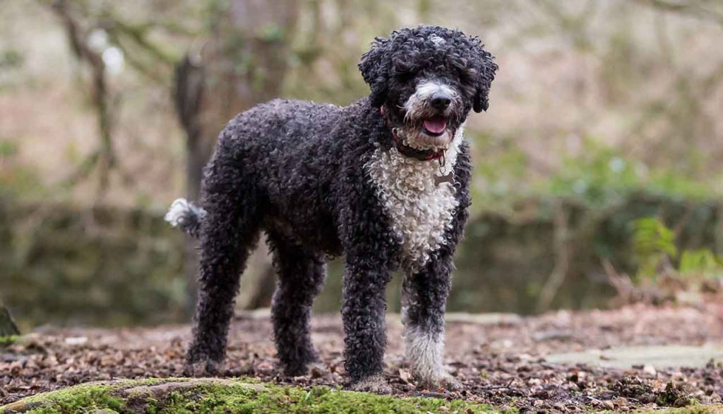 identify breed dog Water dogs