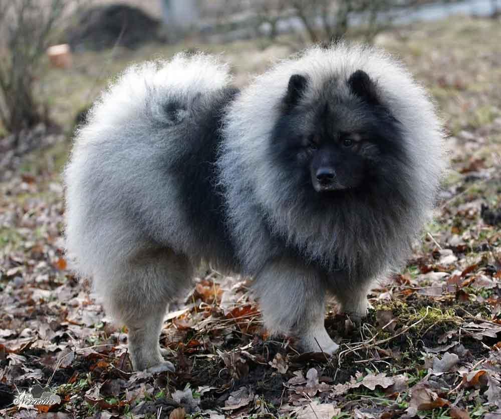 identify breed dog European Spitz