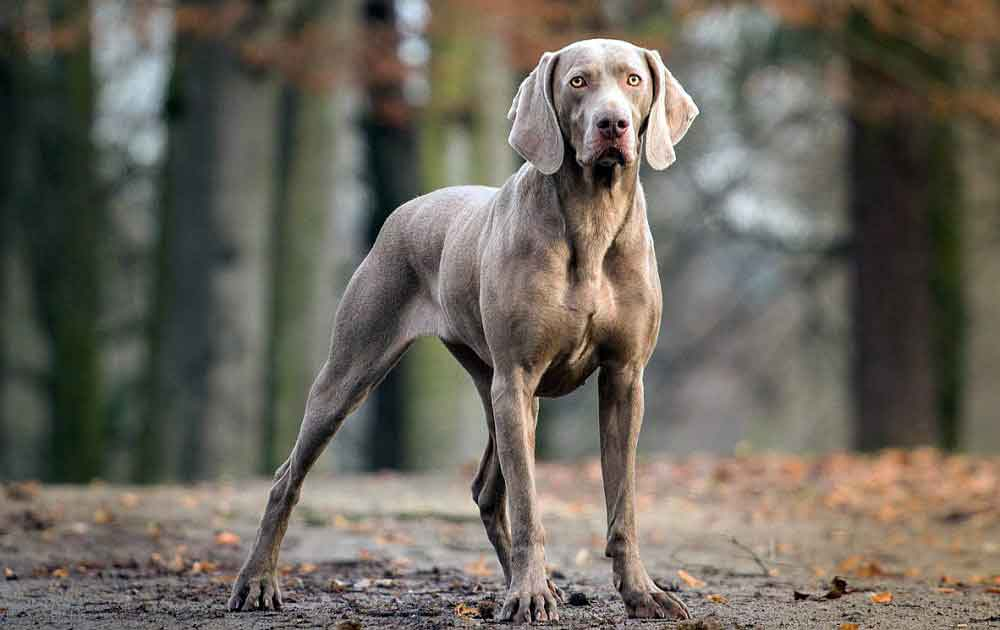 identify breed dog Continental pointing dogs
