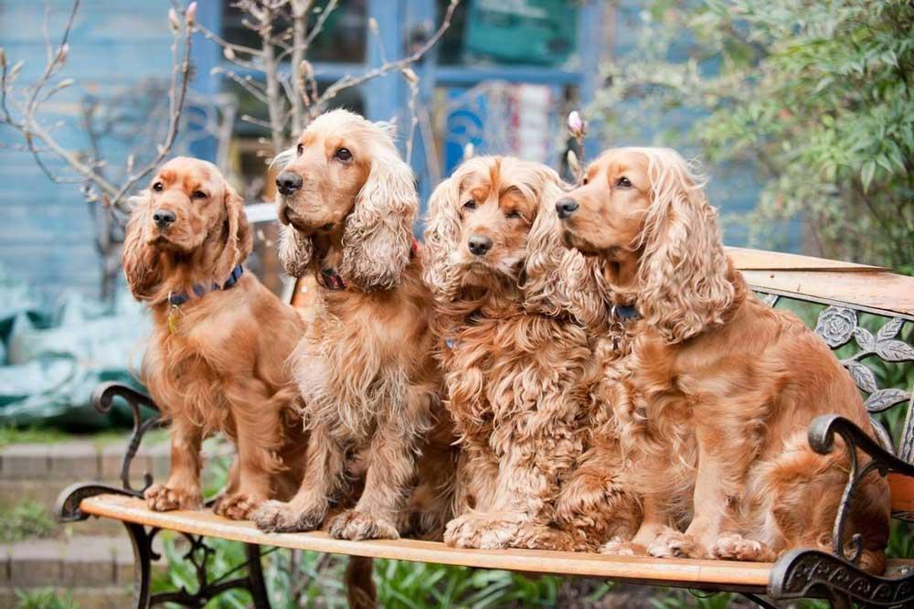 identify breed dog Flush dogs