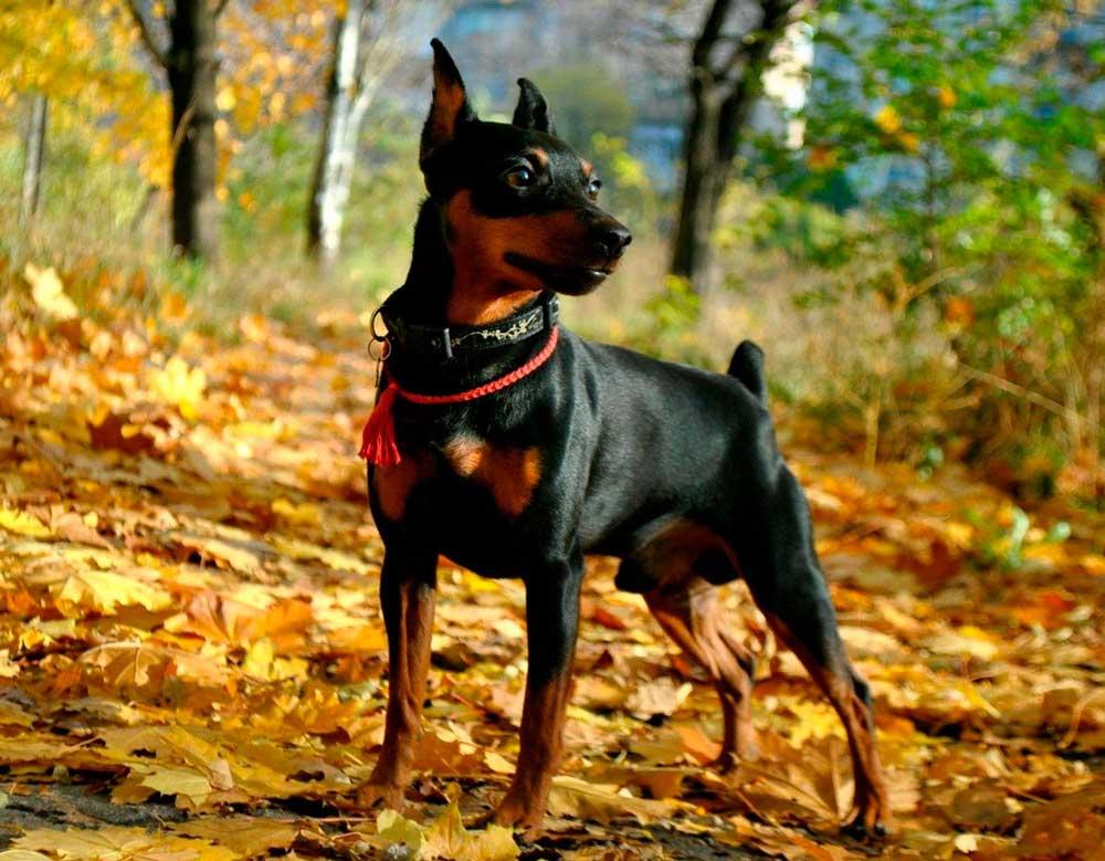 identify breed dog Pinscher and Schnauzer
