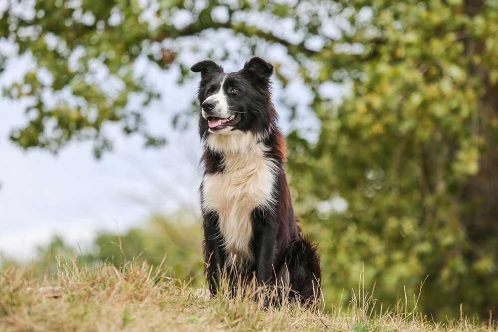 identify breed dog Shepherd dogs