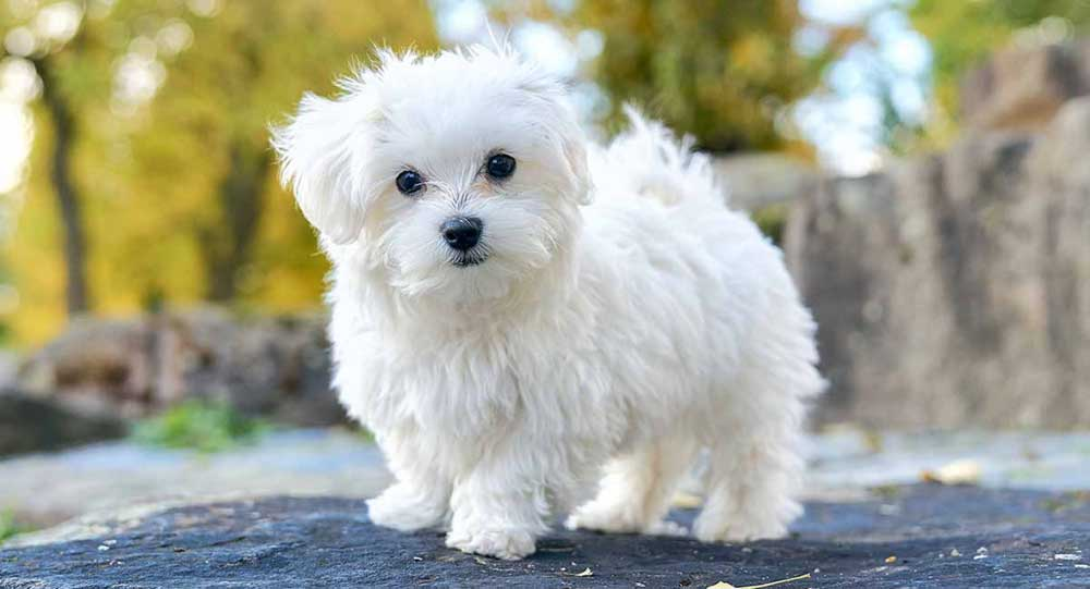 identify breed dog Bichons and related breeds