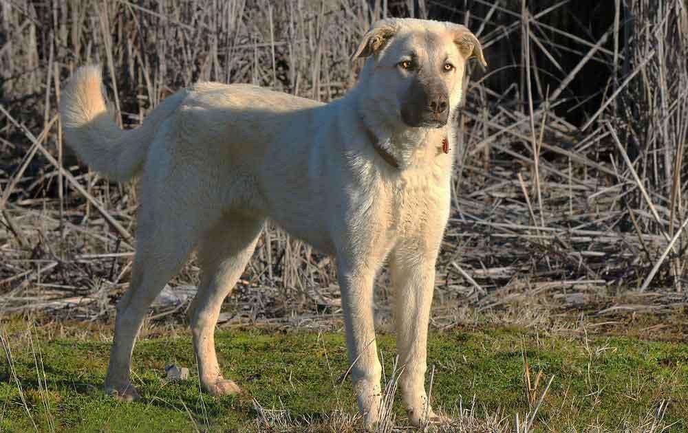 Kangal Anatolian Shepherd Dog