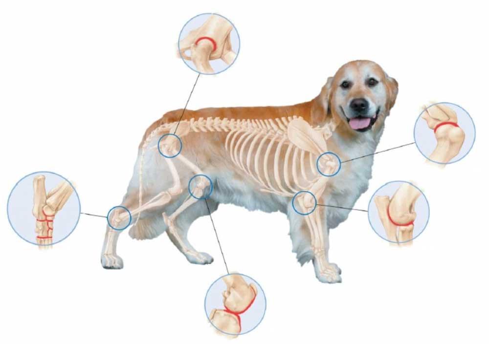 Arthritis Dogs