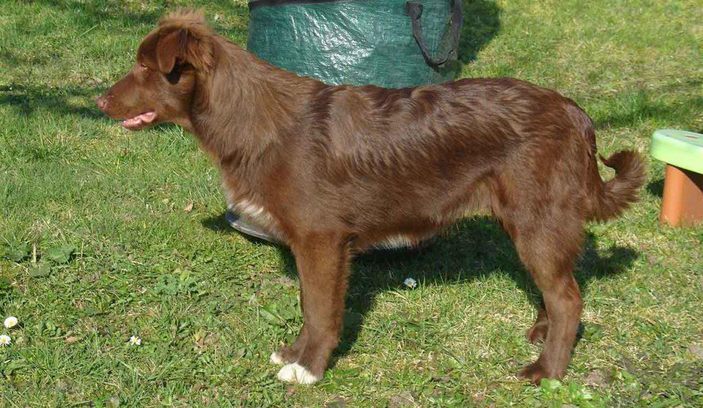 Atlas Mountain Dog - Aidi