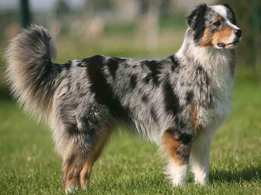Atlas Mountain Dog (Aidi)