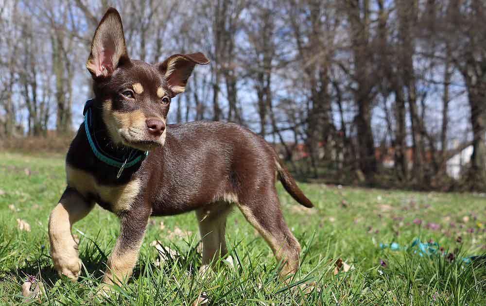 Australian Kelpie   Information & Dog Breed Facts   Pets Feed