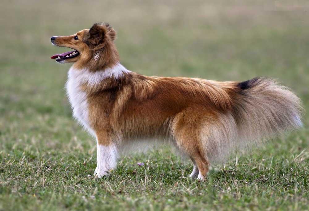 Shetland Sheepdog - Sheltie puppy