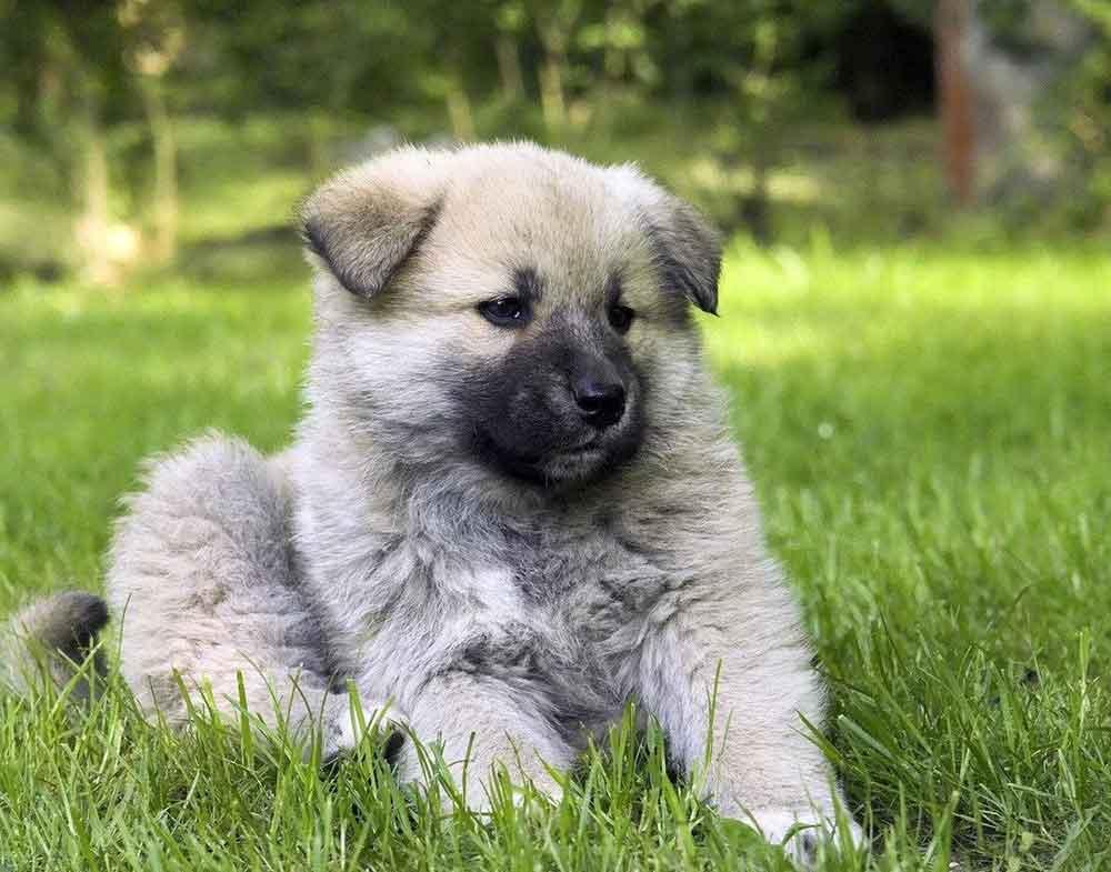 Caucasian Shepherd Dog puppy