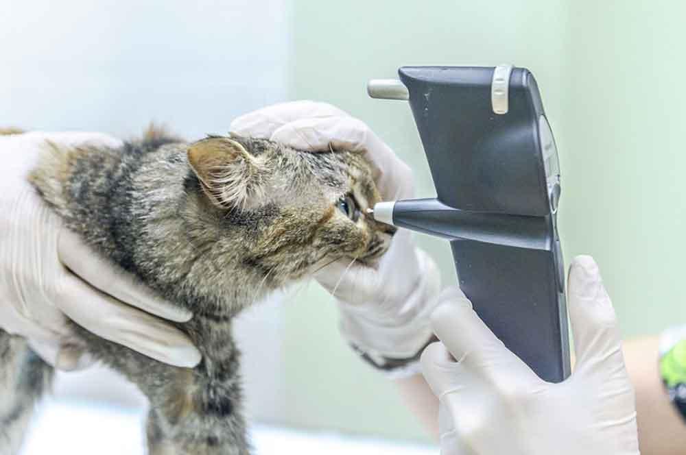 Diabetes in Cats