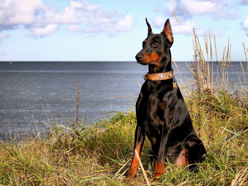 smartest dogs Dobermann