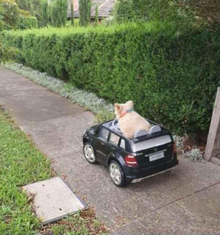 Dog Driving Car Arrested Police