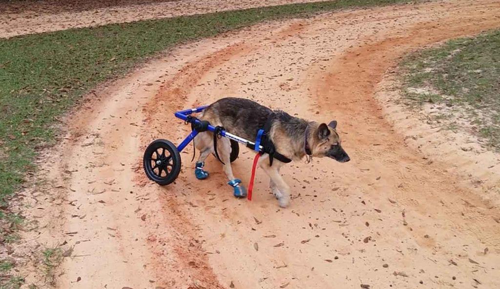 Hip Dysplasia In dog
