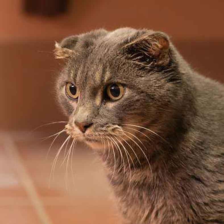 Lady cat lost ears volunteers made new pair