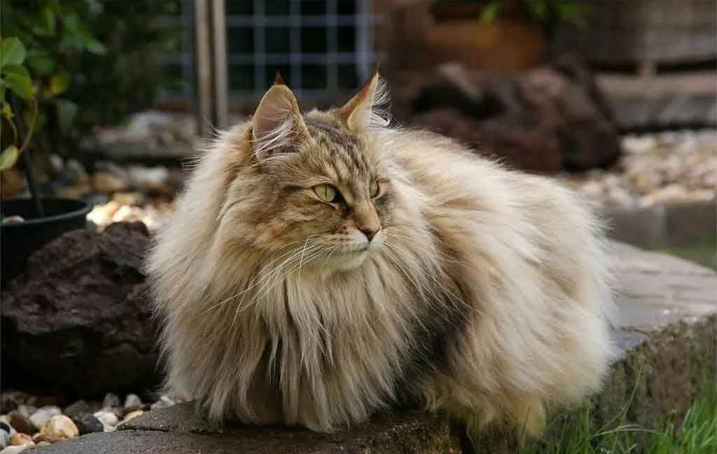 Norwegian Forest cat