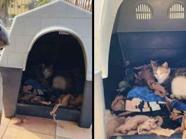 Pit bull Hades invites pregnant stray cat give birth (2)