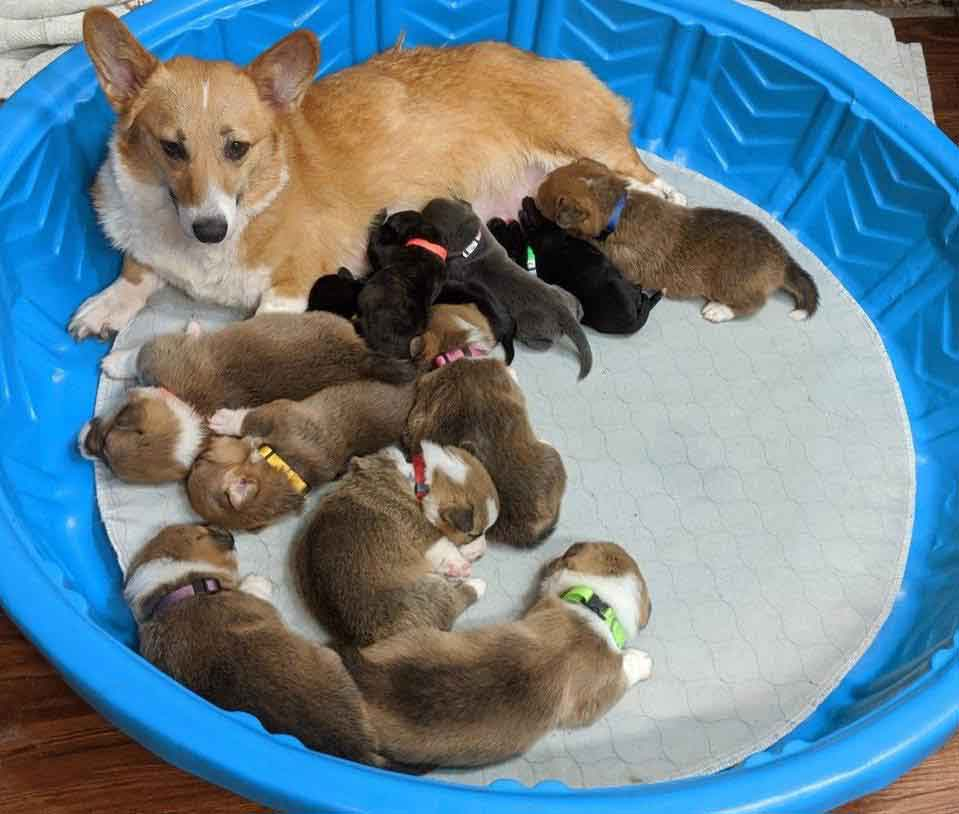 Sara corgi mother adopts abandoned pit bull puppies