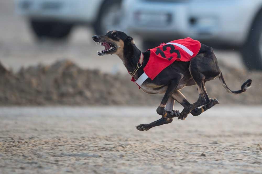 Sloughi - Arabian Greyhound
