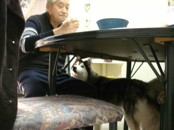 Tally Husky raised by cats