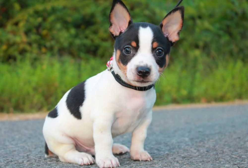 Teddy Roosevelt Terrier puppy