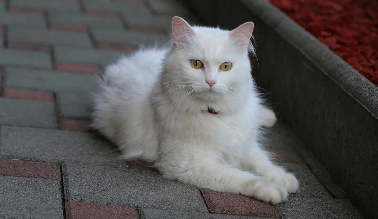 Turkish Angora   Information & Cat Breed Facts   Pets Feed