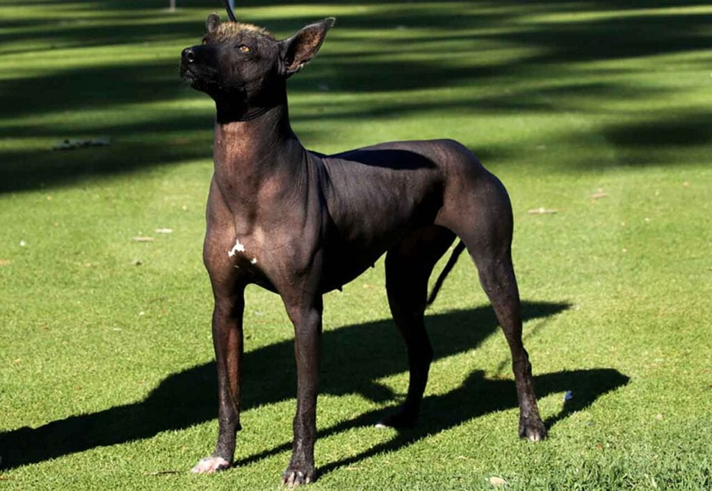 hypoallergenic dogs Xoloitzcuintle - Mexican hairless dog