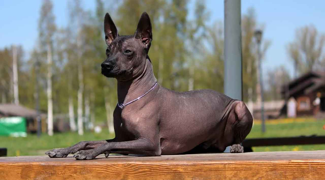 Xoloitzcuintle - Mexican hairless dog