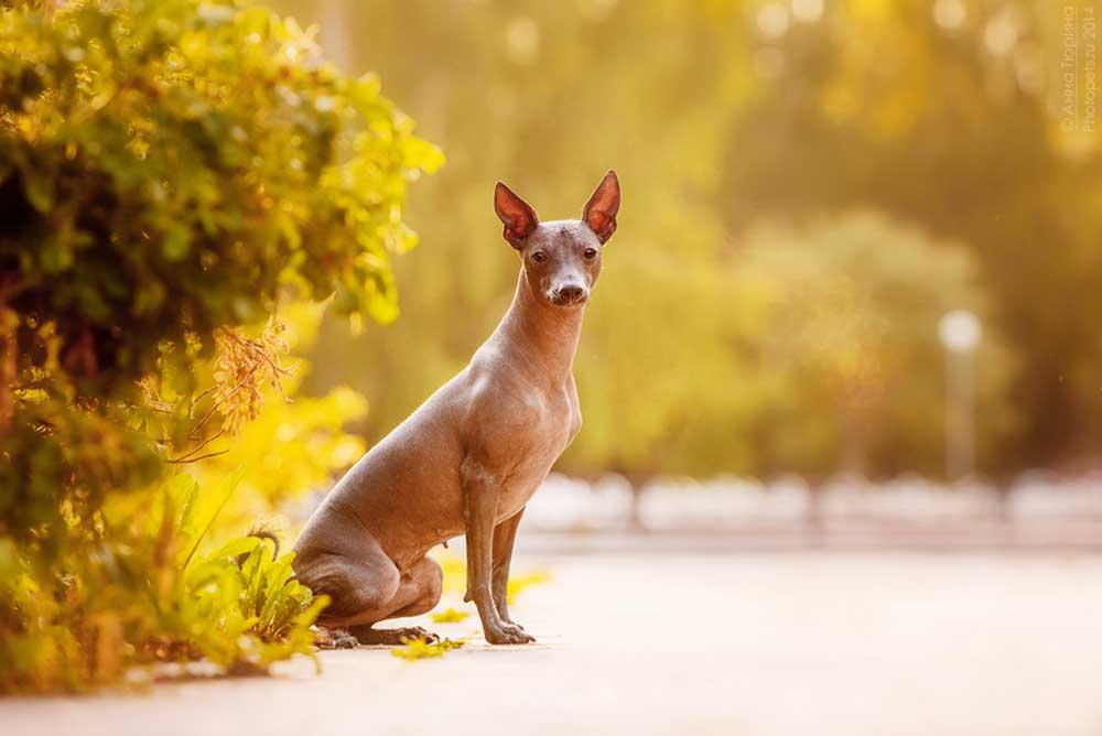 Xoloitzcuintle - Xolo dog