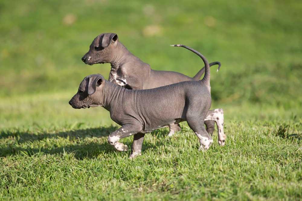 Xoloitzcuintle - Xolo puppies