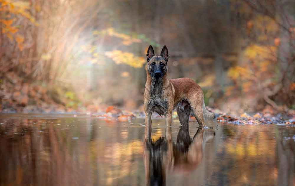 Malinois need training and constant attention from the owner.