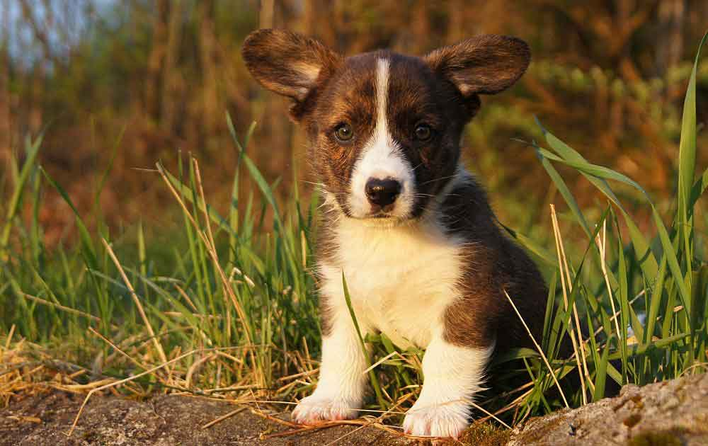 Cardigan puppy