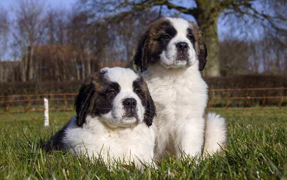 Saint Bernard puppies