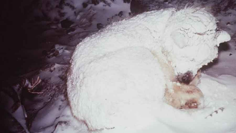 hero dog saves baby freezing siberia