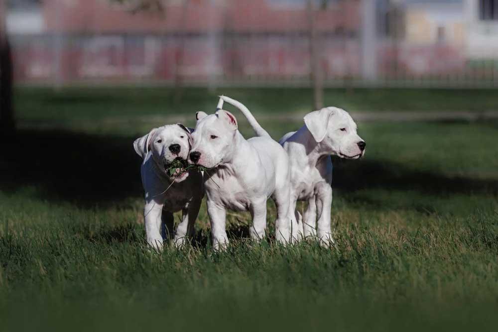 Dogo Argentino puppies