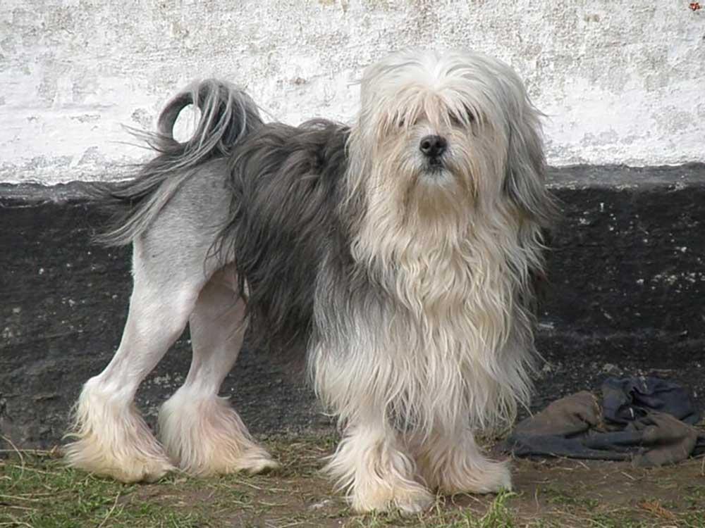 Löwchen - Little Lion Dog