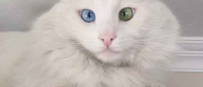 Alos Stunning Cats With The Most Beautiful Eyes