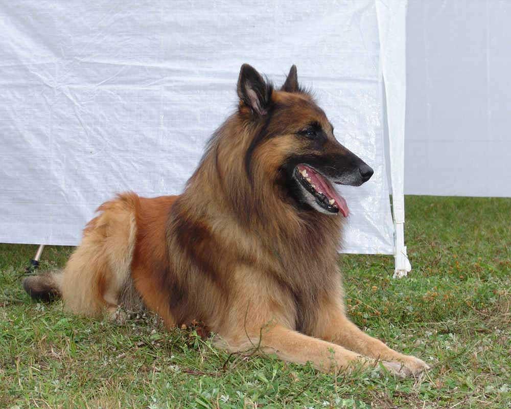 Belgian Shepherd Dogs Tervuren