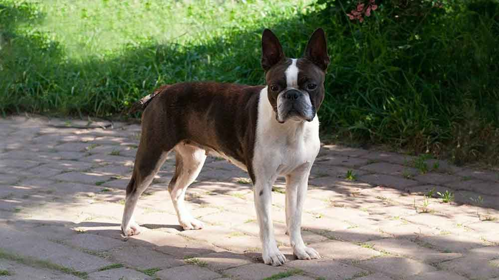 Small dog breeds Boston Terrier