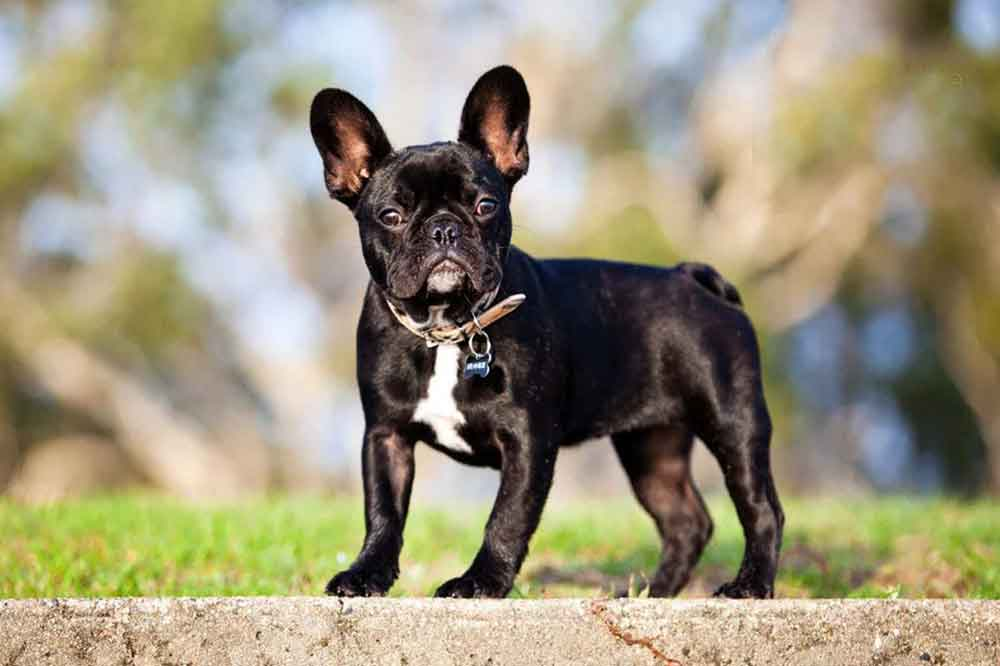 Small dog breeds French Bulldog