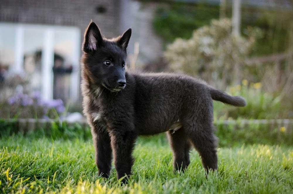 Groenendael puppy