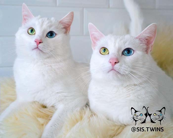Iriss and Abyss Stunning Cats With The Most Beautiful Eyes