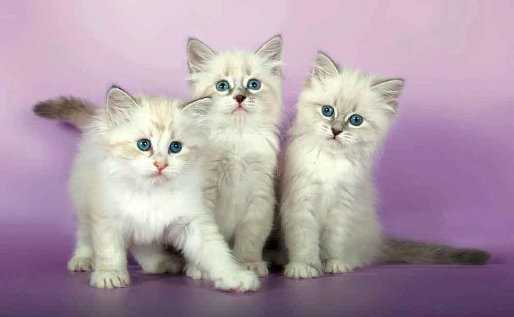 Neva Masquerade kittens